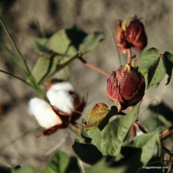 Uzbekistan: Cotone