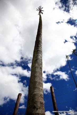 Valle del Cocora, Palma da Cera